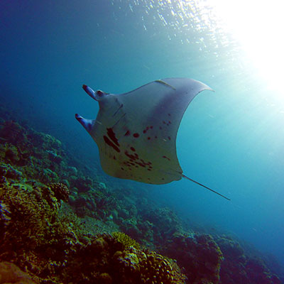 tubbataha reef philippines liveaboard scuba diving trips