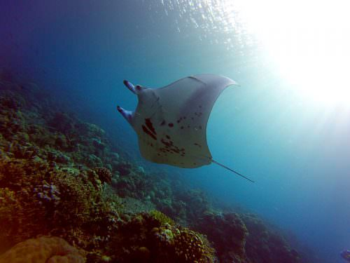 manta ray tubbataha reef Philippines