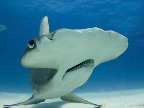Diver Pulls Teeth from Hammerhead Shark's Mouth to Ease its Pain
