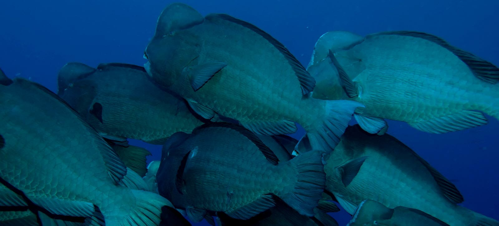 apo reef liveaboard diving trips