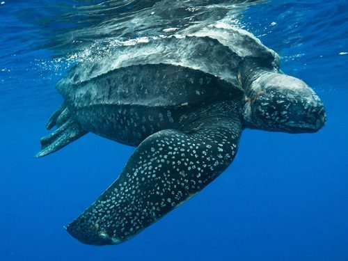 leatherbac sea turtle endangered list